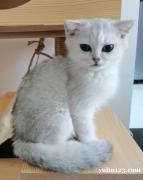 微偿领养幼猫银渐层